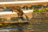 River Otter  1