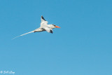 Red-Billed Tropic Bird, Genovesa  1