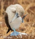 Blue Footed Booby, North Seymour Island  3