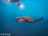 Green Sea Turtle, Isabela Island  3