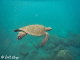 Green Sea Turtle, Isabela Island  10