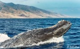 Humpback Whale Lunge  1