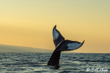 Humpback Whale Tail Throw  1