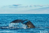 Humpback Whale Fluke  1