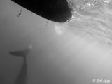 Humpback Whale Underwater  1