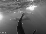 Humpback Whales Underwater  5
