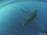 Humpback Whales Underwater  9