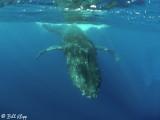 Humpback Whale Underwater  12