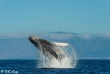 Humpback Whale Breaching  1