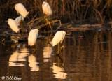 Snowy Egrets  16