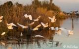 Snowy Egrets  15