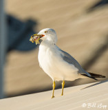 Gull with dinner  1