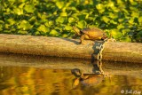 Western Pond Turtle  1
