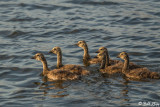 Canada Geese  7