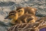 Mallard Ducks  1