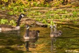 Canada Geese  19