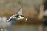 Forester's Tern  2