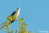 White Tailed Kite  1