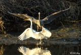 Great Egret & Great Blue Heron  1