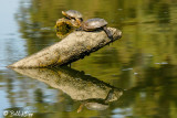 Pacific Pond Turtles  3