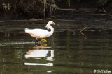Snowy Egret  15