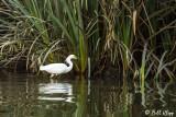 Snowy Egret  16