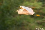Snowy Egret  19