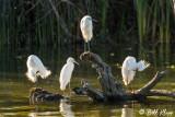 Snowy Egrets  18