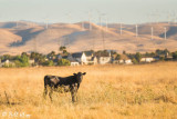 Kellogue Creek Cow  3