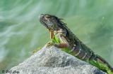 Green Iguana  5