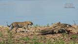 Wildlife - Zambia - South Luangwa - Luipaard tussen krokodillen.jpg