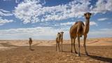 Wildlife - Tunesië - Sahara - Kamelen.jpg