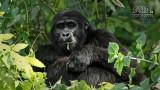 Wildlife - Oeganda - Bwindi - Gorilla.jpg