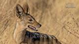 Wildlife - Kenia - Samburu - Jakhals.jpg