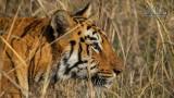Wildlife - Indië - Tadoba -Tijgerin.jpg