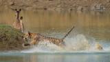 Wildlife - Indië - Tadoba - Tijgeraanval.jpg