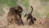 Wildlife - Ethiopië - Hudad - Gelada bavianen.jpg