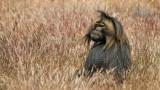 Wildlife - Ethiopië - Hudad - Gelada baviaan.jpg