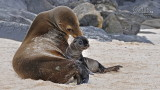 Wildlife - Ecuador - Galapagos - San Cristobal - Zeeleeuwen.jpg