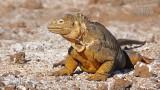 Wildlife - Ecuador - Galapagos - North Seymour - Landleguaan.jpg