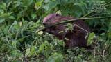Wildlife - België - Bever.jpg