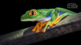 Wildlife - Costa Rica - La Selva - Red-eyed tree frog.jpg
