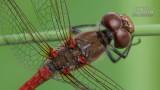Wildlife - België - Rode heide libelle.jpg