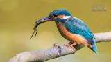 Wildlife - België - IJsvogel met kikker.jpg