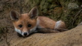 Wildlife - België - Demerbroeken - Jonge vos.jpg