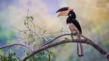 Wildlife - India - Dandeli - Malabar pied hornbill