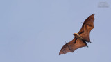 Wildlife - India - Kabini - Indian flying fox