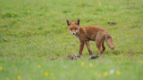 Wildlife - Nederland - Jonge vos