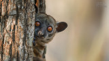 Wildlife - Madagaskar - Kirindy - Red-tailed sportive lemur