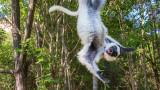 Wildlife - Madagaskar - Isalo - Verreaux's sifaka